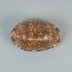 Mollusc shell: Arabian cowrie, Cypraea arabica; Frances Shakespear; 2015.232.102