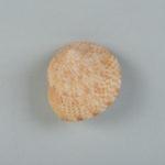 Mollusc shell: Beaded top shell, Calliostoma punctulatum; Frances Shakespear; 2015.232.115