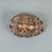 Mollusc shell: Reticulated cowrie, Mauritia maculifera; Frances Shakespear; 2015.232.107