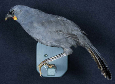 Mounted South Island Kokako Specimen; Callaeas cinerea cinerea; 2005/214.03