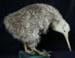 Mounted Little Spotted Kiwi (Kiwi-pukupuku) Specimen; Apteryx owenii; 2002/210.022