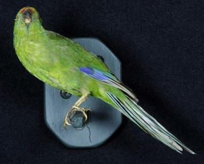 Mounted Yellow-Crowned Parakeet (Kakariki) Specimen; Cyanoramphus auriceps; 2002/215.03