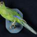 Mounted Yellow-Crowned Parakeet (Kakariki) Specimen; Cyanoramphus auriceps; 2002/215.03