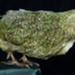 Mounted Kakapo Specimen; Strigops habroptilus; 2002/210.020