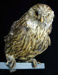 Mounted Laughing Owl (Whekau) Specimen; Sceloglaux albifacies; 2002/214.02