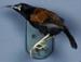 Mounted South Island Saddleback (Tieke) Specimen; Philesturnus carunculatus carunculatus; 2002/214.04