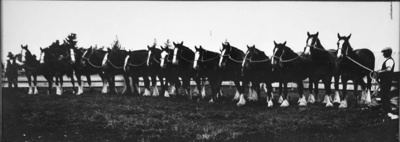 Photograph, Gathering of Clydesdales; Unknown Maker; 1920; OT.2003.01