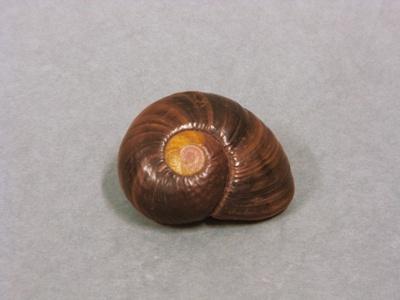 Paryphanta spp., 1040