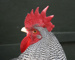Memory recorded from a rooster., J46, J47