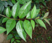 Tree Privet, lucidum/Ligustrum, Botanical, Suburban garden, 2005.1008