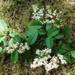 Chinese Privet, sinense/Ligustrum, Botanical, Suburban garden, 2005.1007