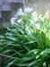 Agapanthus, orientalis/praecox/Agapanthus, Botanical, Inner city suburban area., 2005.1009