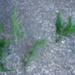Climbing Asparagus, scandens/Asparagus, Botanical, Suburban garden., 2005.1004