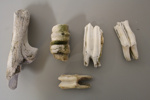 Introduced animal teeth and bone; SGHT.2016.14