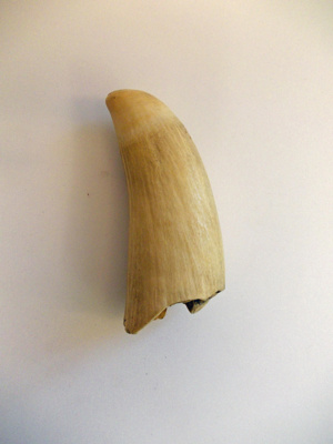 Whale's tooth; SGHT.2013.19