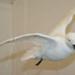 Snow petrel; Snow petrel; SGHT.2009.9