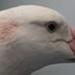 Wandering albatross specimen; Wandering albatross; SGHT.2009.8