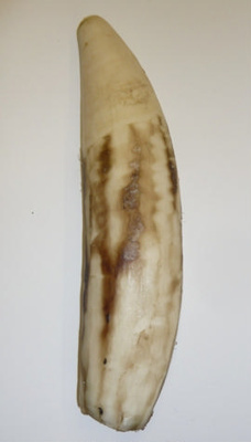 Sperm whale tooth; Sperm whale; SGHT.1995.6.277
