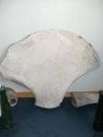 Fin Whale Scapula; SGHT.1992.1.268
