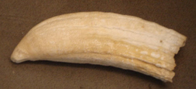 Tooth; Elephant seal; Unknown; SGHT.1992.5.50.1