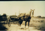 Photograph, Horse harnessed to sulky. ; 5754