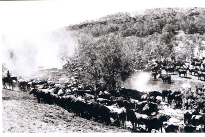 Photograph: Mob of Cattle; 5939