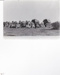 Photograph - Camels transporting wool. ; c 1930; 15019