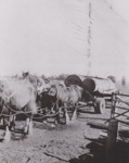 Photograph - Team of Horses pulling a log. ; c 1910; 20280