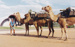 Photograph - Camel team at the Stockman's Hall of Fame. ; 1998; 17770