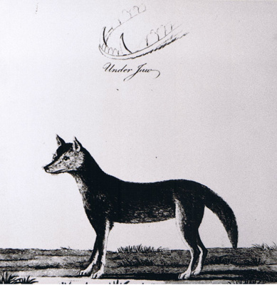 Photograph - Stockdale's engraving of the dingo. ; 1988?; 9101