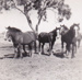 Photograph - Draught horses on Maneroo Station.; 1946; 18730
