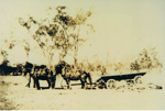 Photograph, four horses harnessed to dray; 5758