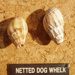 netted dog whelk; DUWHM:N108