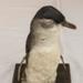 Little penguin, taxidermed; 2006.49