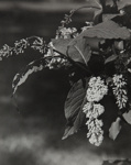 Untitled [Flowers]; Keiper, Elisabeth; ca. 1940s; 1978:0117:0014