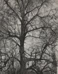 White Oak; Genesee Camera Club; undated; 1978:0115:0002