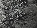 Untitled [Bush]; Keiper, Elisabeth; ca. 1940s; 1978:0117:0006