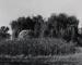 Untitled [Willow tree]; Baz, Douglas; 1970; 1972:0267:0001