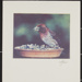 Purple Finch; Enos, Franklin; ca. early 1970s; 1976:0001:0002