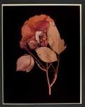 XIV. ROSE (Rosa damascena); Frampton, Hollis; 1982; 1986:0018:0016