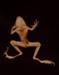 IX. GARDEN TOAD (Bufo americanus); Frampton, Hollis; 1982; 1986:0018:0013