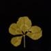 I. WHITE CLOVER (Melilotus alba); Frampton, Hollis; 1982; 1986:0018:0003