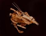 XII. MOURNING DOVE (Zenaidura macroura); Frampton, Hollis; 1982; 1986:0018:0014