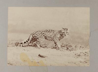 Ocelot; Anschütz, Ottomar; 1888; 1979:0166:0001