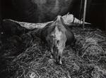 Untitled [Animal]; Jennings, Joseph; 1972; 1973:0076:0014