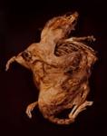 XIII. BROWN RAT (Rattus rattus); Frampton, Hollis; 1982; 1986:0018:0015
