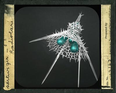 Illegible... Hertivigir – Radiolari ; American Museum of Natural History; c.a. 1906; 2017:0793:0009