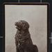 [Black Fluffy Dog]; J. L. Harris; ca. 1890; 1977:0036:0061