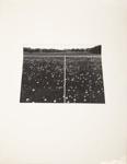 Untitled [Dandelions]; Wood, John; ca. late 1960s; 1975:0012:0013
