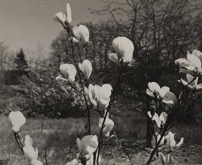 Japanese Magnolia; Genesee Camera Club; undated; 1978:0115:0005